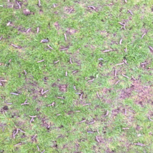 larvae, golf course larvae, golf course maintenance, exeter golf and country club, golf course, greenkeepers, eco golf course, green golf,